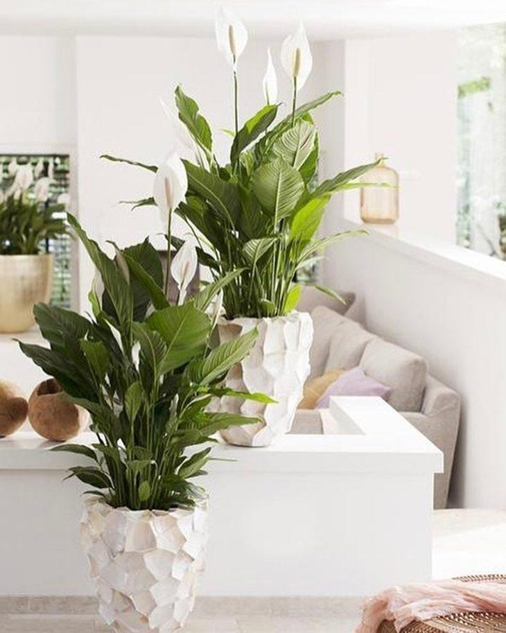planta de sombra - Lírio da paz
