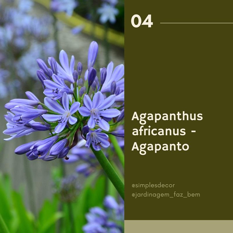 10 plantas difíceis de matar - Agapanto