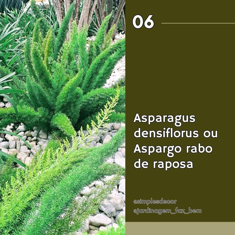 10 plantas difíceis de matar - Aspargo