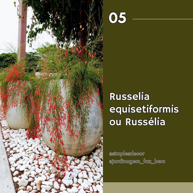 10 plantas difíceis de matar - Russelia