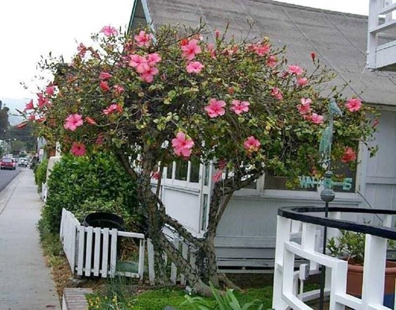 Hibisco rosa arbusto