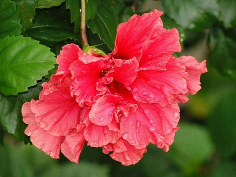 O hibisco dobrado vermelho