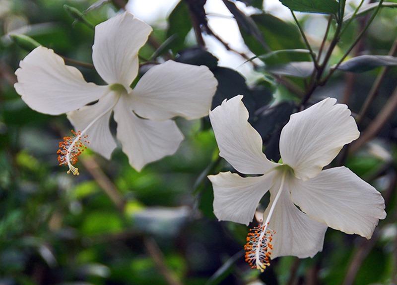 Hibisco singela branca