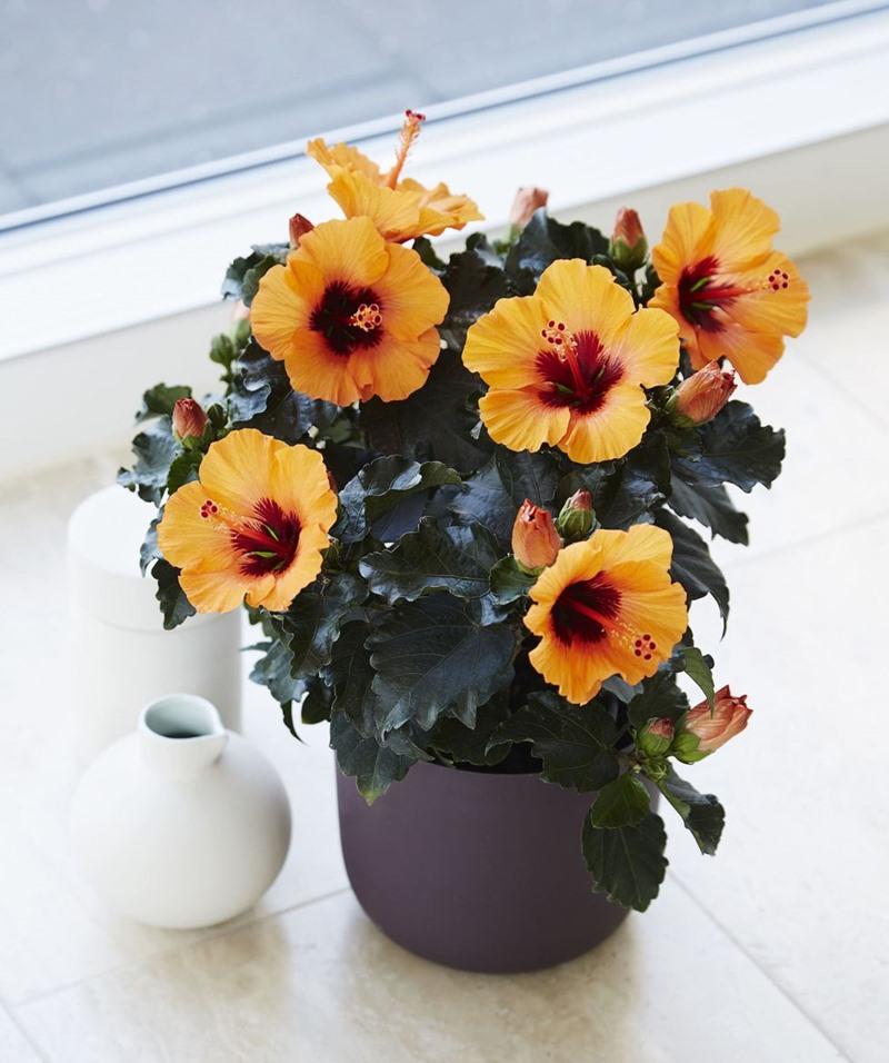 Hibisco Amarelo - Miniatura