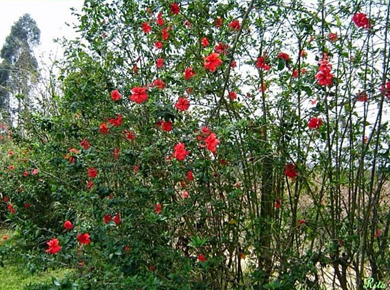 hibisco vermelho em cerca viva