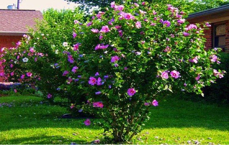 Hibisco rosa - Arbusto