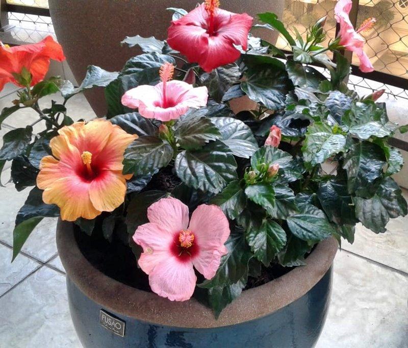 hibiscos multicoloridos em vaso