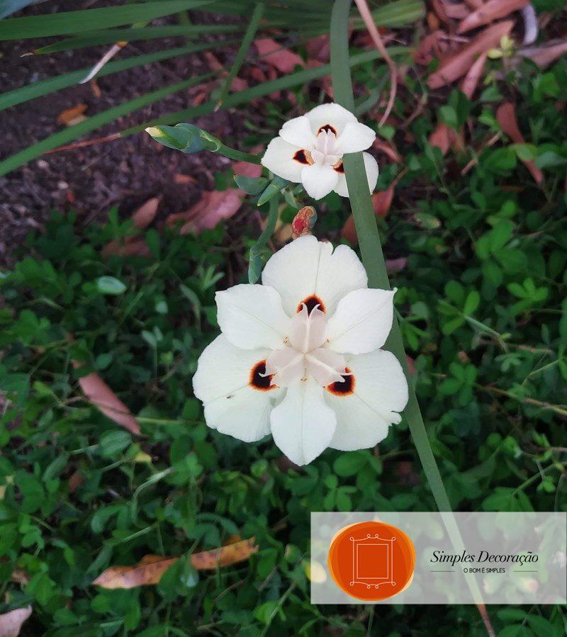 Plantas fáceis de cuidar - Moreia branca
