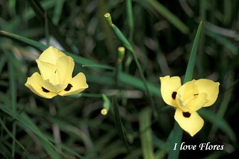 moreia amarela