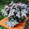 Plantas fáceis de cuidar - lambari